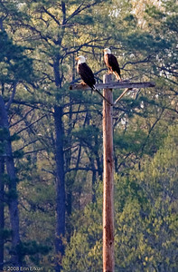 Yeah, yeah!  Not the greatest photo, but this is our first sighting of American bald eagles at Blackwater, so the pair deserves a place in our memories.