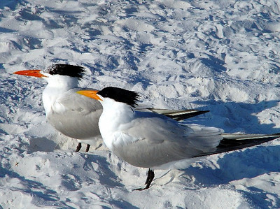 A pair of royal terns getting a bit of sun on the beach at Siesta Key.