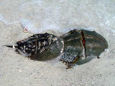 There's love in the air!  A pair of horseshoe crabs mating at Coquina Beach.