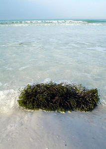 More seaweed on shore.