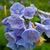 Bull Run Regional Park - April 12: Virginia bluebells.