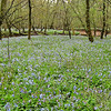 Bull Run Regional Park - April 12: Further down the trail, the fields of Virginia bluebells continue along the path.