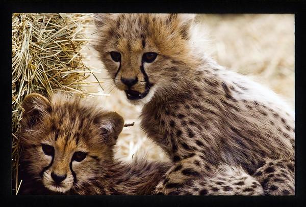 Cheetahs at SCBI (2011)