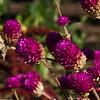 Gomphrena - Purple Buddy