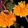 Calendula - or as more commonly known, marigold.