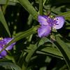 Virginia Spiderwort; also known as Widow's Tears