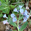 Virginia bluebells add color to the battlefield.