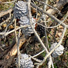 Dry pine cones on the First Manassas Trail.