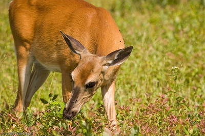 For this white-tail doe, foraging is more important than posing.
