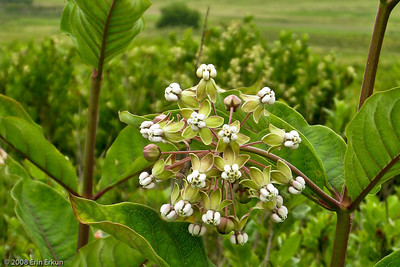White Milkweed at Big Meadow.