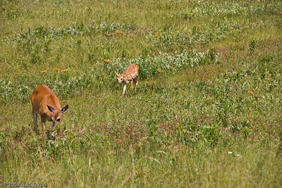 The white-tail doe and fawn from yesterday come back to visit us at Big Meadow.