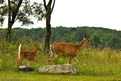 As we prepare for our walk at Big Meadow, we're joined by a white-tail doe and her fawn.