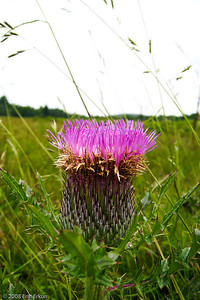 Bull Thistle in the early stages of blooming at Big Meadow.