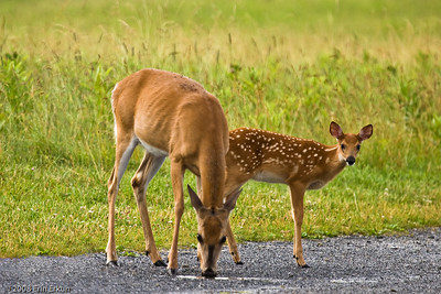 As mom sips from a rain puddle, the fawn checks us out before ...