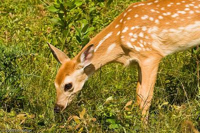Close-up of the white-tail fawn at Big Meadow.