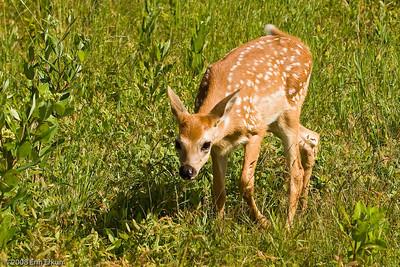 The fawn approaches to investigate me.
