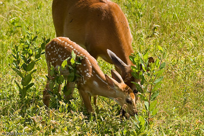 After getting kicked by a buck foraging with the pair (the buck did not like the fawn encroaching in its feeding area), the fawn retreats to munch grass with mom.