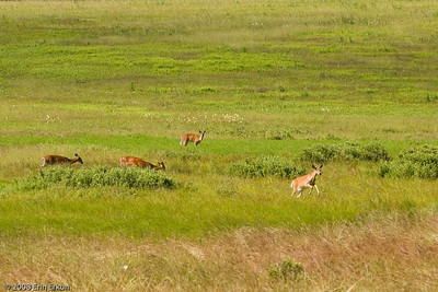 More white-tail deer at Big Meadow ... at least one of them is more interested in romping than foraging in the grass.