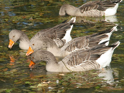 Greylag geese have a wide range in the Old World, hence their presence in the pond near the forge fits right into the scheme of things.