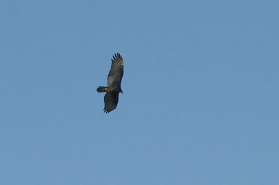One of many turkey vultures riding the thermals at Natural Chimneys State Park.