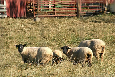 Curiosity about us has some of the sheep taking a break from grazing.