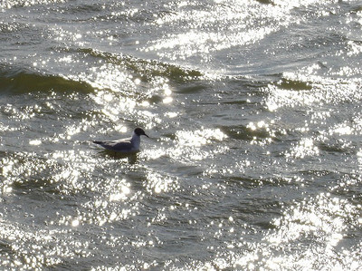 The blinding glare from the late afternoon sun makes it difficult to see the gull bobbing on the Potomac River.