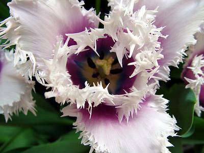 US Botanic Garden Fringed Tulip
