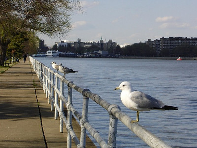 Gulls lined up on the railing at Hains Point.  Are they, like us, awaiting a brilliant sunset?