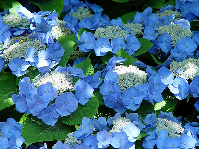 US Botanic Garden Decorative Hydrangea