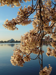 "If my photography instructor were to see this image with the blossoms in focus and the Jefferson Memorial out of focus, he'd title the picture ""Cherry Blossoms at the Jefferson Memorial."""
