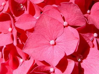 US Botanic Garden Hydrangea
