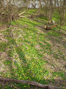 Not quite a yellow brick road, but a carpet of tiny yellow flowers leads us down the marsh path on Roosevelt Island.