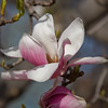 Smithsonian Castle<br /> Magnolia blooms in the Enid A. Haupt Gardens.