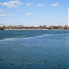 February 08, 2009<br /> Ducks and gulls enjoying a warm, sunny day on the partially frozen water in the tidal basin.
