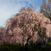 Smithsonian Castle<br /> Weeping cherry tree at the Moongate Garden.