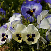 Smithsonian Castle<br /> Pansies in the Enid A. Haupt Gardens.
