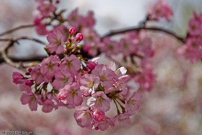 "The most recent event in the cycle of ""gifting cherry trees"" occurred in the fall of 1999 with the planting of a new generation of cuttings from a famous Japanese cherry tree in Gifu province reputed to be over 1500 years old."