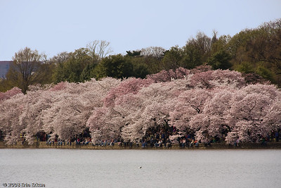 Glimpse of the cherry blossoms on the far side of the Tidal Basin and the crowds that have come to see them.
