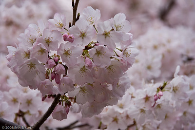 The first 3,000 cherry trees were gifted to Washington DC in 1912 by Mayor Yukio Ozaki of Tokyo to enhance the growing friendship between the United States and Japan, and to celebrate the continued close relationship between the two nations.