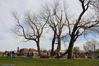 Smithsonian Kite Festival on the Mall.  Kids of all ages love climbing this tree, but it is a hazard for kites (note the red kite caught in the top branches).