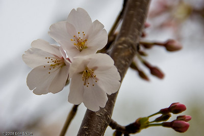 Most wild cherry trees, as well as a lot of cultivated tree varieties, have blossoms with five petals.