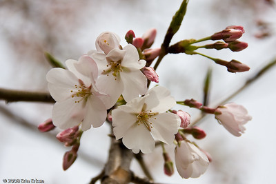 The cherry trees that were gifted by the Japanese are a variety known as Yoshino.