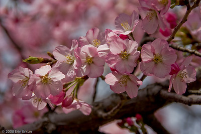 The cherry trees gifted by Japan are not fruit-bearing trees.