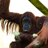 Orangutans (Bonnie [I believe] with Batang.)<br /> 19 May 2012