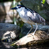 Black-Crowned Night Heron (one of 200-pairs of wild night herons that stop over at the zoo to nest)<br /> 19 May 2012