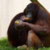 Orangutans (Batang with another orangutan.)<br /> 19 May 2012