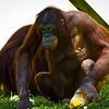 Orangutans (Batang getting ready to steal a treat from Kiko.)<br /> 19 May 2012
