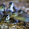 Wood Duck Ducklings (five-day old)<br /> 19 May 2012