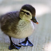 Wood Duck Duckling (five-day old)<br /> 19 May 2012