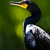 Double-Crested Cormorant<br /> 19 May 2012